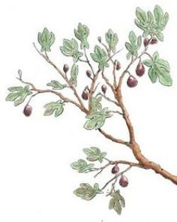 Drawn branch fig tree