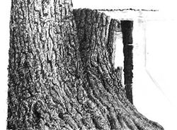 Drawn pine tree tree trunk