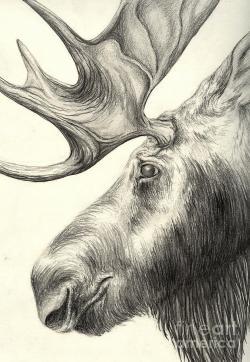 Drawn moose moose head