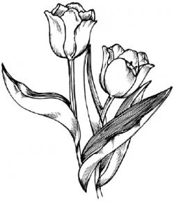 Drawn tulip