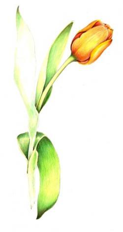 Drawn tulip yellow tulip