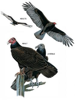 Drawn turkey vulture buzzard