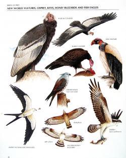 Osprey clipart condor