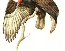 Drawn turkey vulture pedant