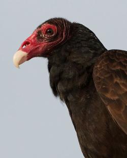 Drawn turkey vulture scavenger