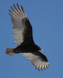 Drawn turkey vulture snow white