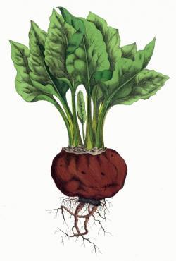 Beet clipart vegetable plant