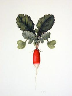 Drawn vegetable botanical illustration