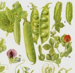 Drawn vegetables botanical illustration