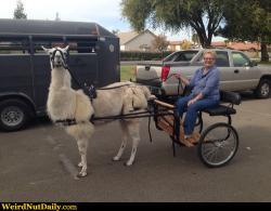 Drawn cart llama