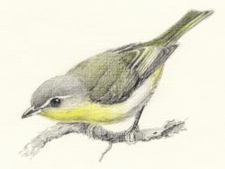 Drawn vireo old