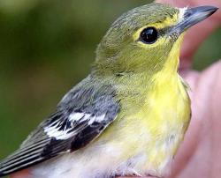 Vireo clipart watch video