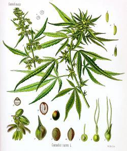 Drawn pot plant rasta