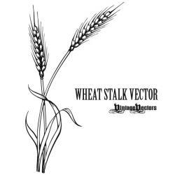 Drawn grain wheat stalk