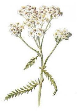 Drawn wildflower yarrow flower