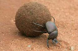 Dung Beetle clipart bettle