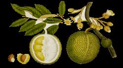 Ume Tree clipart durian tree