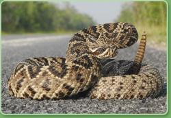 Eastern Diamondback Rattlesnake clipart
