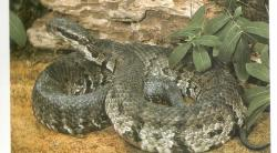Eastern Diamondback Rattlesnake clipart east texas