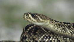 Eastern Diamondback Rattlesnake clipart female