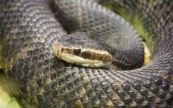 Eastern Diamondback Rattlesnake clipart florida