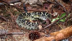 Eastern Diamondback Rattlesnake clipart king