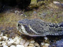 Eastern Diamondback Rattlesnake clipart louisiana