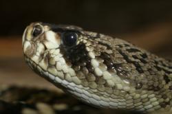 Eastern Diamondback Rattlesnake clipart pit viper