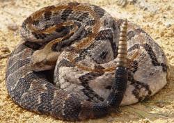 Eastern Diamondback Rattlesnake clipart snake