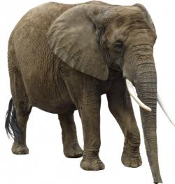 Asian Elephant clipart land animal