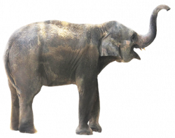 Asian Elephant clipart grey