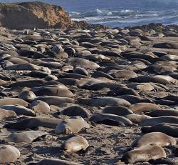 Elephant Seal clipart san simeon