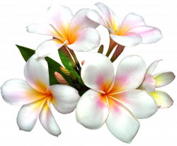 Plumeria clipart caribbean