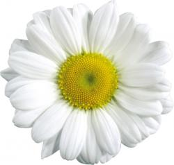 Camomile clipart real