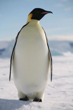 Emperor Penguin clipart arctic