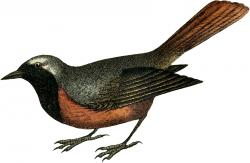 Starling clipart swift bird