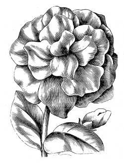 Petunia clipart black and white
