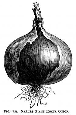 Drawn onion vintage