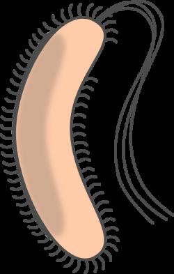Bacteria clipart e coli