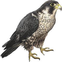 Prairie Falcon clipart