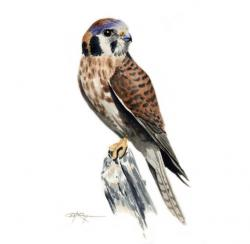 Kestrel clipart bird prey