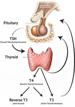 Organs clipart thyroid gland