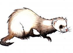 Drawn ferret cartoon