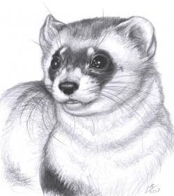Drawn ferret white black
