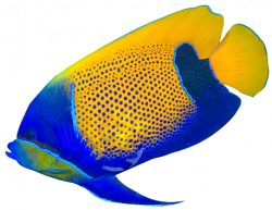 Angelfish clipart colored fish