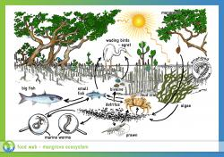 Mangrove clipart forest ecosystem