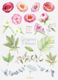 Peony clipart painted