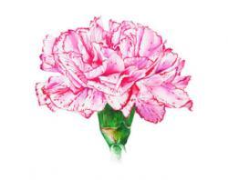 Carnation clipart pink carnation