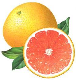 Grapefruit clipart vintage