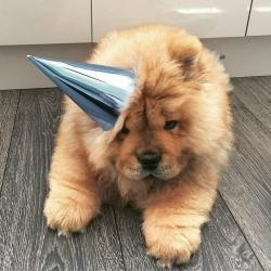 Furry clipart chow chow